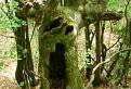 Bubo lesný
