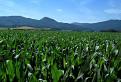 Zniev z kukurice