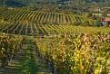 Jesenný vinohrad / 1.0833