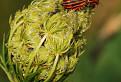 Bzdocha pásavá (Graphosoma lineatum) / 1.1333