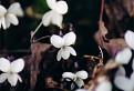 fialka biela (viola alba) / 1.1429