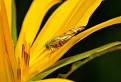 Muška (Trypetoptera punctulata) / 1.0000