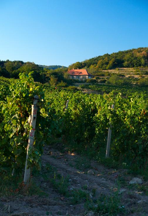 Vo vinohradoch