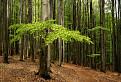 Jarný les karpatský / 1.0000