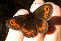 Motýľ / 1.6250