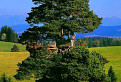 Majestátna Borovica lesná (Pinus sylvestris) / 1.1176