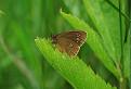 Očkáň obyčajny (Aphantopus hyperantus) / 1.1333