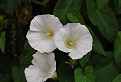 Povoja plotná (Calystegia sepium) / 1.1000