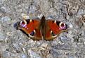 Môj prvý tohtoročný motýľ
