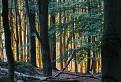 Pozlátený les / 1.1111