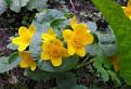 Záružlie močiarne, Caltha palustris