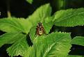 Syrphus ribesii / 1.0526
