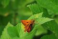 Súmračník hrdzavý (Ochlodes venatus) / 1.0769