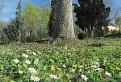 Jarná kvetena pod jedľou