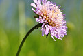 Chrastavec roľný (Knautia arvensis (L.) Coult.) / 1.0000