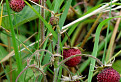 Jahoda trávnica (Fragaria viridis) / 0.0000