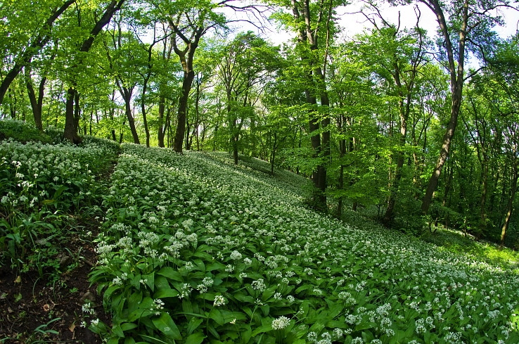 cesnakovy les I.