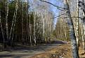 Krátka brezová aleja v borovicovom lese / 1.0526