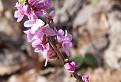 Lykovec jedovatý (daphne mezereum) / 1.1000