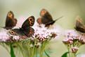 Motýľovo