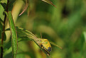 Bzdocha zelená (Palomena prasina) / 1.0556