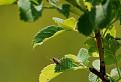 Araneus diadematus / 1.0000