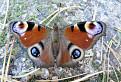 Motýlie babie leto