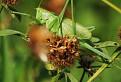 Kobylka zelená (Tettigonia viridissima) / 1.1176