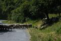 Klenovské ovce / 1.5000