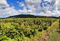 ribezlovy vinohrad / 1.0333