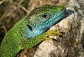 Samec jašterice zelenej (Lacerta viridis) / 1.0000