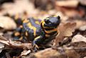 Salamandra strednohronská