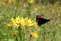 Motýľ / 2.0435