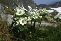 Veternica narcisokvetá / 1.0357