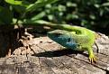 Jašterica zelená (Lacerta viridis) / 1.0417