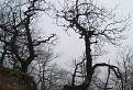 Quercus mysteriousens / 1.2308
