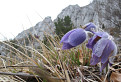 Poniklec veľkokvetý (Pulsatilla grandis) / 2.0000