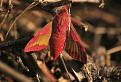 Lišaj vŕbkový (Deilephila elpenor) / 1.0323