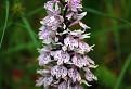 Vstavačovec Fuchsov pravý (Dactylorhiza fuchsii subsp. fuchsii) / 1.0625