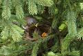 Drozd cvikotavý  (Turdus pilaris) / bez hodnotenia