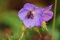 Pakost lúčny (Geranium pratense L.)
