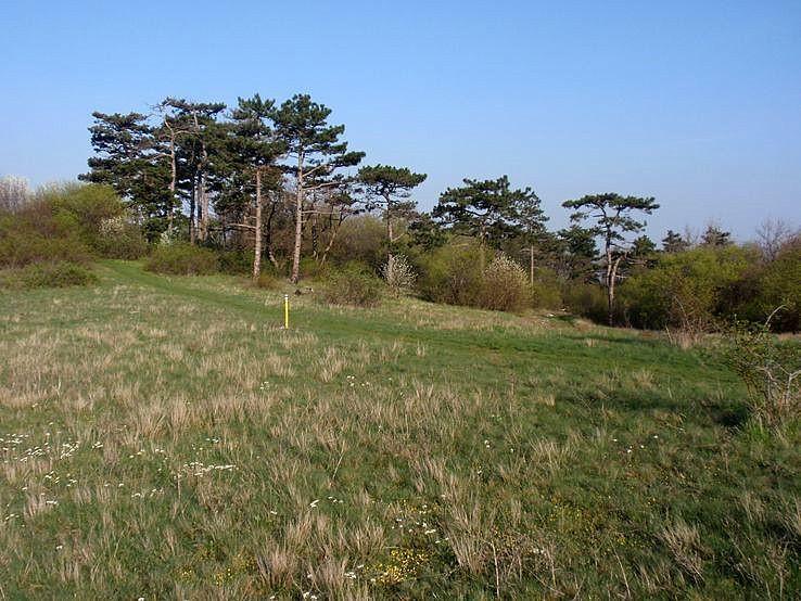 borovice pod Meškovým vrchom