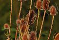 Štetka lesná (Dipsacus fullonum L.) / 1.0000