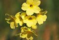 Prvosienka vyššia (Primula elatior) / 1.2000