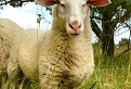 Nasrdená ovečka / 1.0800