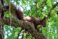 Veverička štrbskoplesová / 1.0714