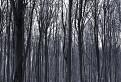 Čiernobiely les / 1.4286