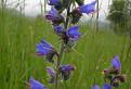 Hadinec obyčajný, Echium vulgare