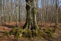 Pazúrový strom