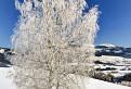 Zimná breza.
